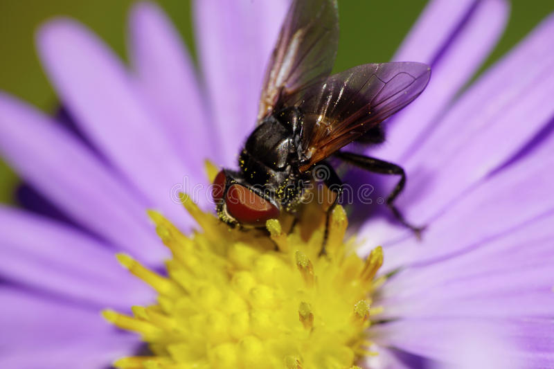 Close-up side view of Caucasian black flower flies are burrowing stock photos