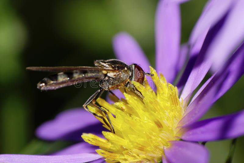 Close-up side view of Caucasian yellow-black striped flies are h royalty free stock photo