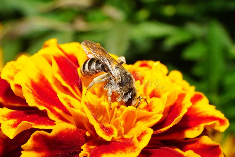 Close-up side view of Caucasian wild bee on a orange-red tagetes stock photos