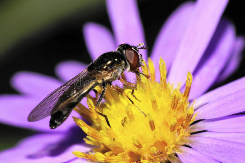 Close-up side view of Caucasian yellow-black striped flies are h stock photography