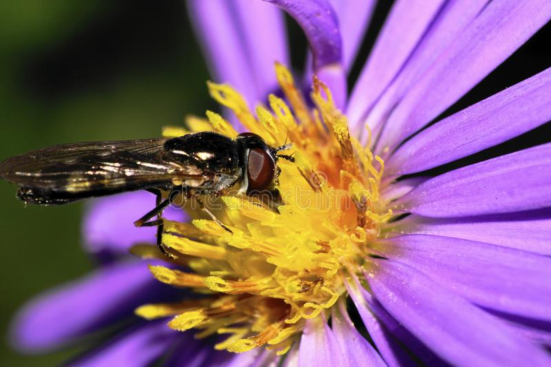 Close-up side view of Caucasian yellow-black striped flies are h stock photo