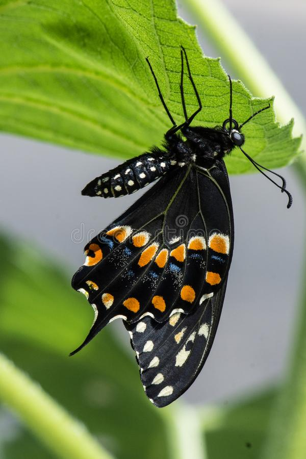 Side view of a black swallowtail butterfly clinging to the bottom of a green leaf. stock image