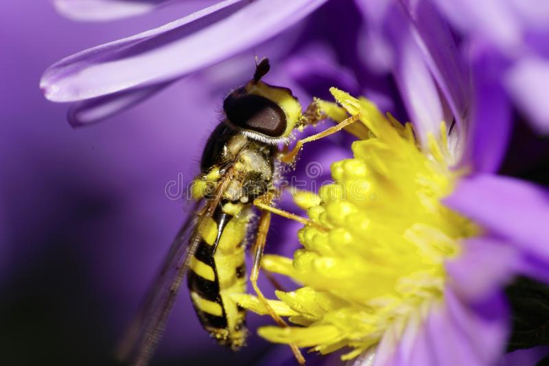 Close-up side view of a yellow and black striped caucasian flower a fly on a petal alpine aster royalty free stock photography