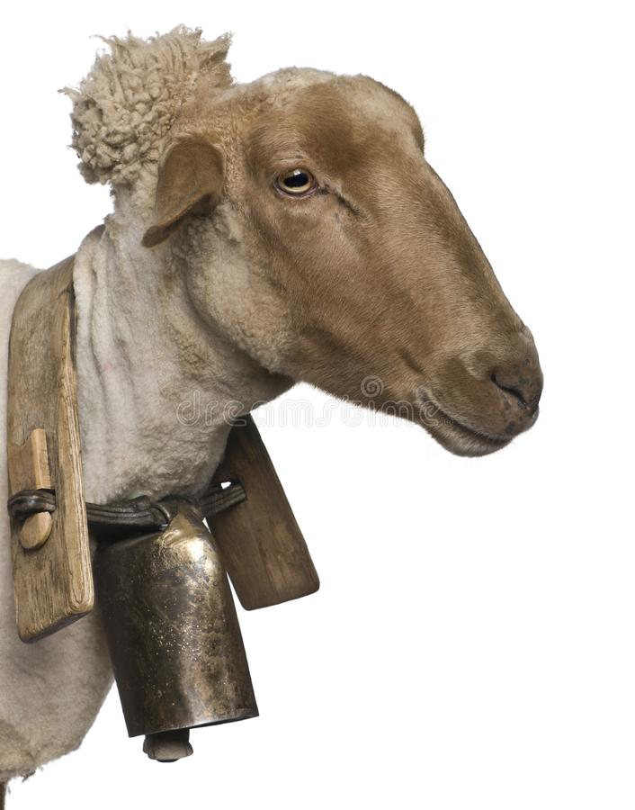 Close-up side view of Mourerou sheep wearing bell in front of white background royalty free stock images