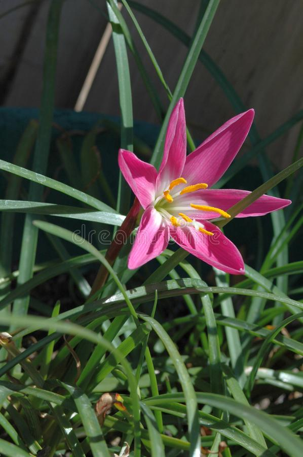 Close-up side view of pollen-laden colorful `Mexican Lily` in vivid Magenta with leaves with full morning sun stock photos