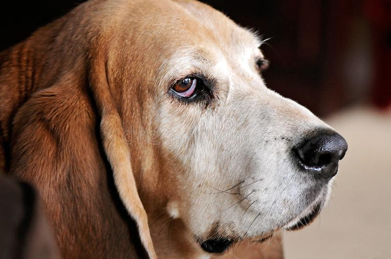 Close up Side view of Basset Hound Adult Dog Face. Close up side view portrait of an adult brown and white Basset Hound Dog. He has long ears and droopy eyes royalty free stock photos