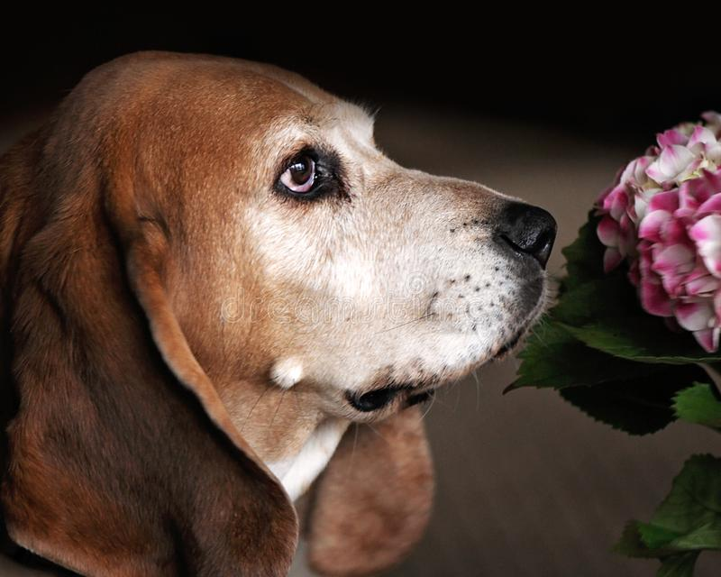 Side view of Basset Hound Adult Dog Face with Flower. Close up side view portrait of an adult brown and white Basset Hound Dog. He has long ears and droopy eyes stock photo