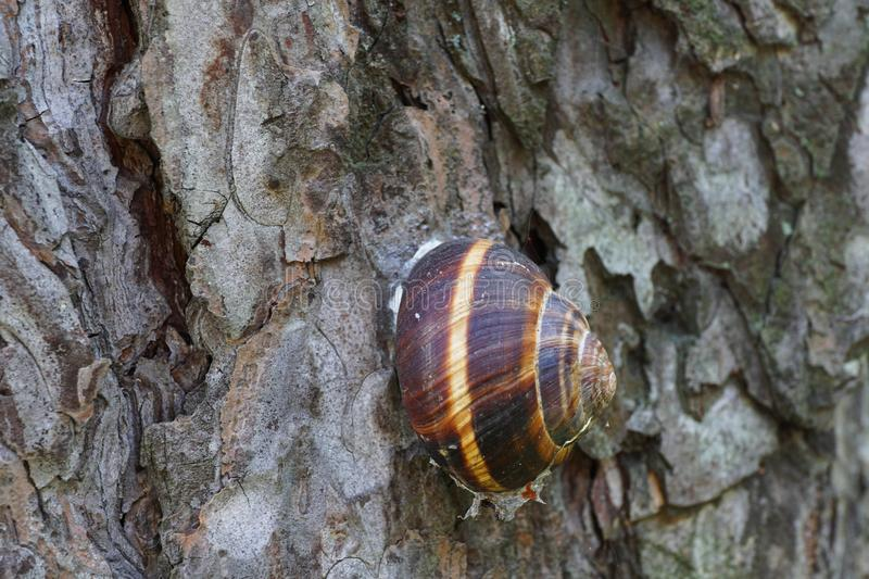 Close-up of the side view of a sleeping grape snail Helix pomatia on the bark of pine alpine Pinus mugo stock photo