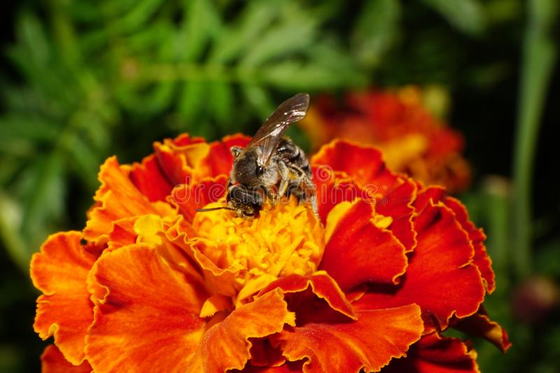 Close-up side view of Caucasian wild bee on a tagetes royalty free stock image