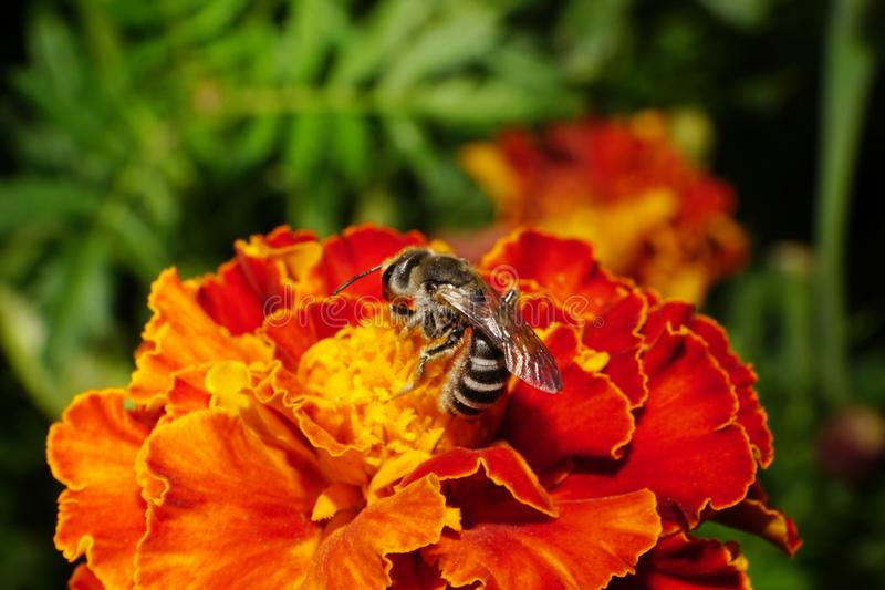 Close-up side view of Caucasian wild striped bee on a orange-red tagetes royalty free stock photography