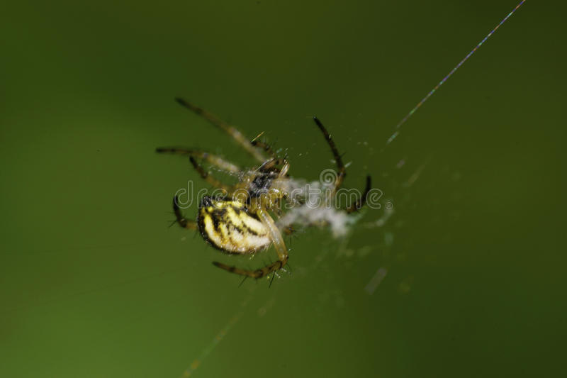 Close-up side view of young Caucasian young Araneus spider in gr royalty free stock image