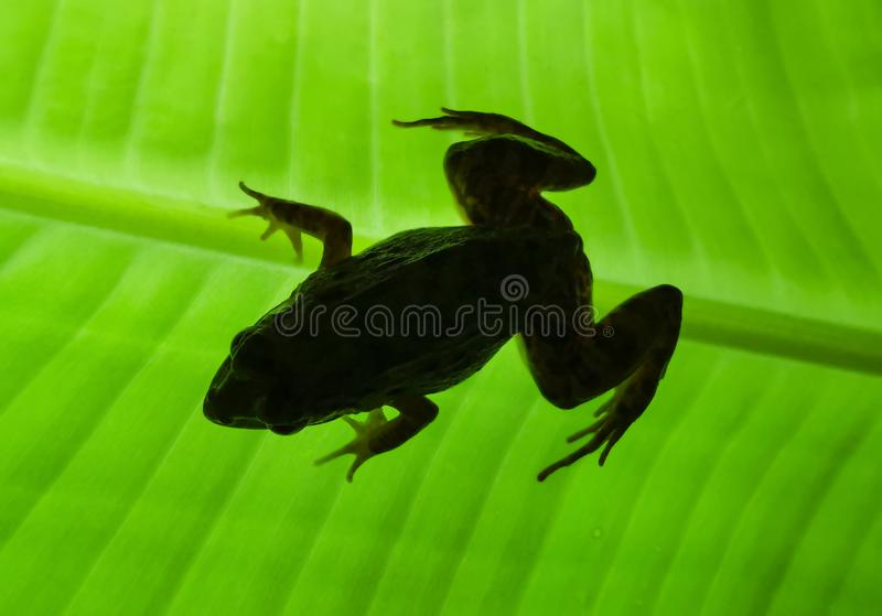 Animals/wildlife. Close up. Silhouette a frogs on green leaves stock images