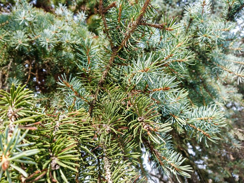 Close up silver pine tree in spring light royalty free stock image