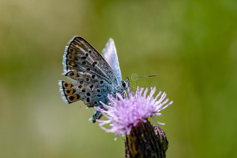 Close up of a silver studded blue wing butterfly royalty free stock images