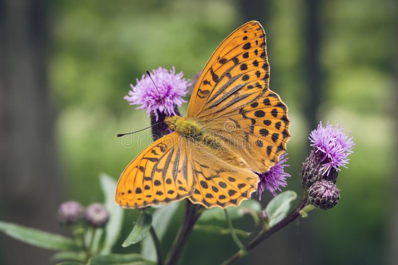 Close-up of Silver-washed fritillary butterfly. Close-up of a Silver-washed fritillary butterfly, Argynnis paphia, sitting on a thistle. Deep orange colored royalty free stock photo