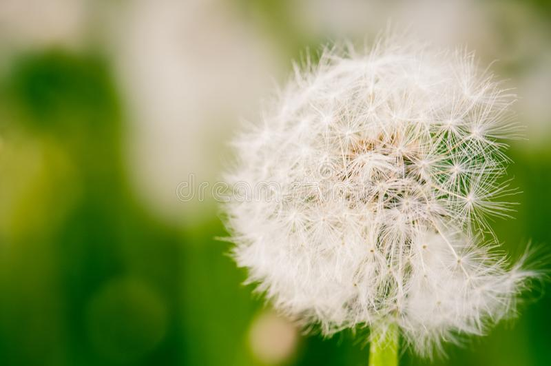 Close up of singe dandelion flower. Toned. Close up royalty free stock images