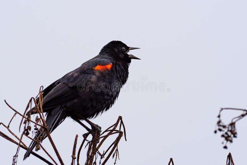 Close up of singing red-winged black bird Agelaius phoeniceus, Marin Headlands, Marin County, North San Francisco bay area,. California royalty free stock photos