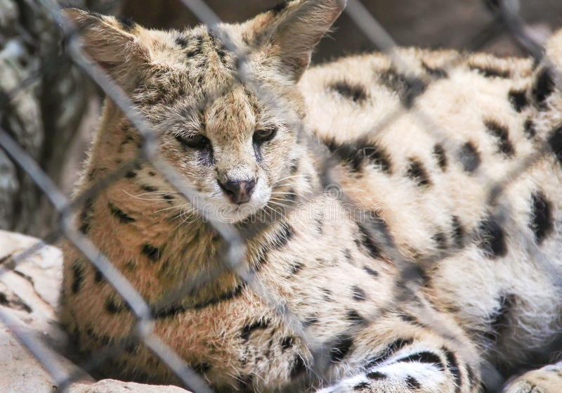 Single african serval cat or Leptailurus serval in cage background. Close up Single african serval cat or Leptailurus serval in cage background stock photo