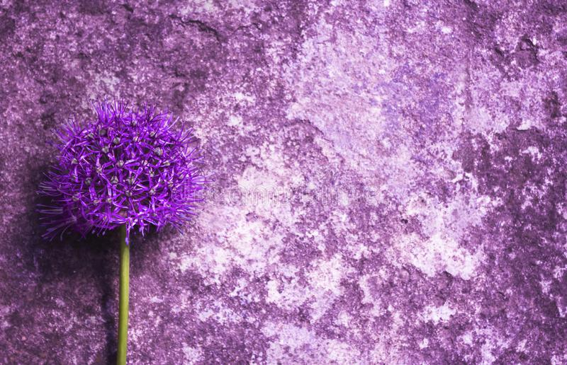 Close-up of Single beautiful purple allium onion flower against the background of an old scratched stone wall. stock photo