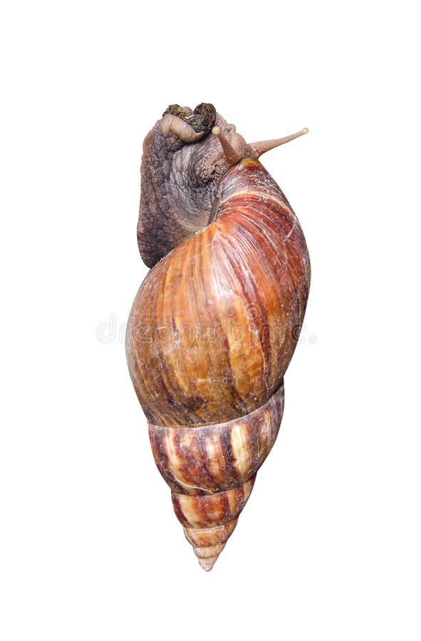 Single big snail with dust and crawling   on white background with clipping path. Close up Single big snail with dust and crawling   on white background with stock images