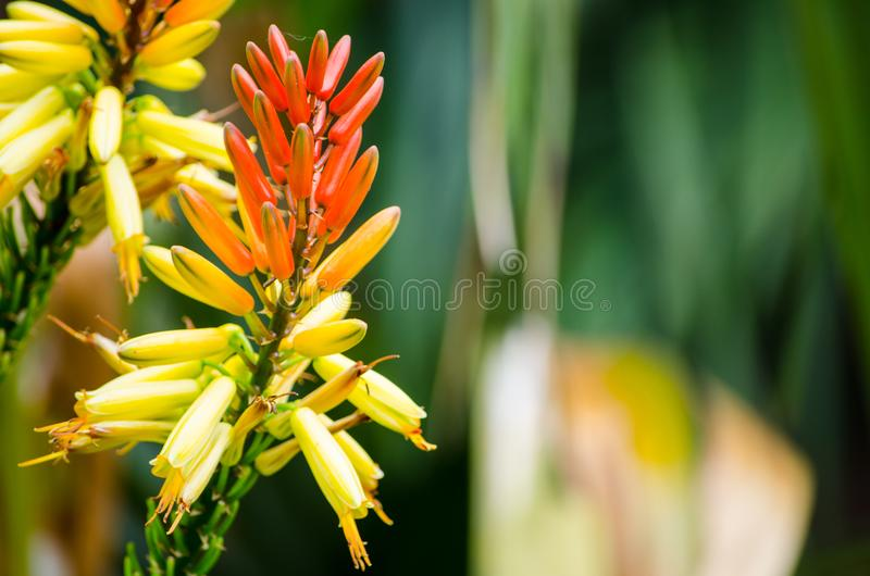 Close-up single of Flowering mountain aloe in yellow and orange colors in a botanical garden. A Close-up single of Flowering mountain aloe in yellow and orange royalty free stock images