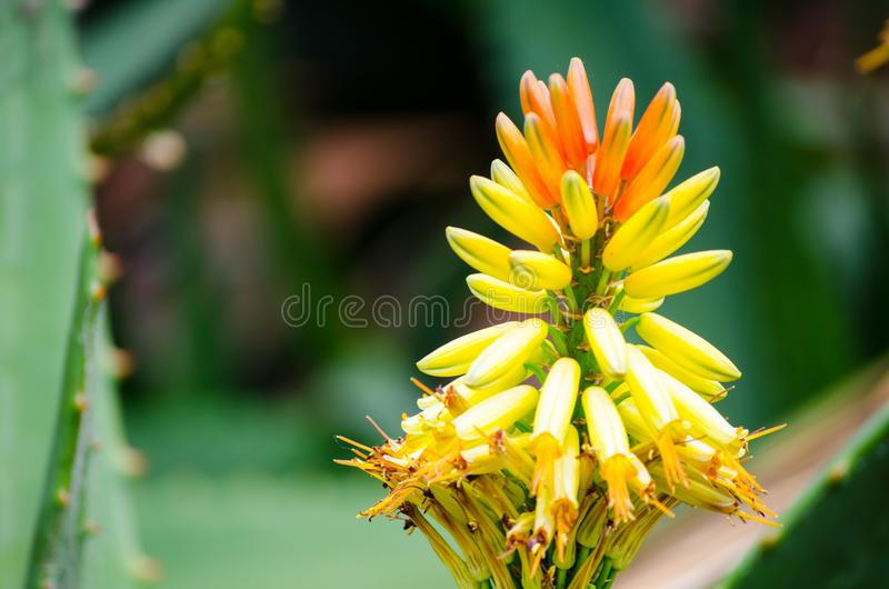 Close-up single of Flowering mountain aloe in yellow and orange colors in a botanical garden. A Close-up single of Flowering mountain aloe in yellow and orange stock photography