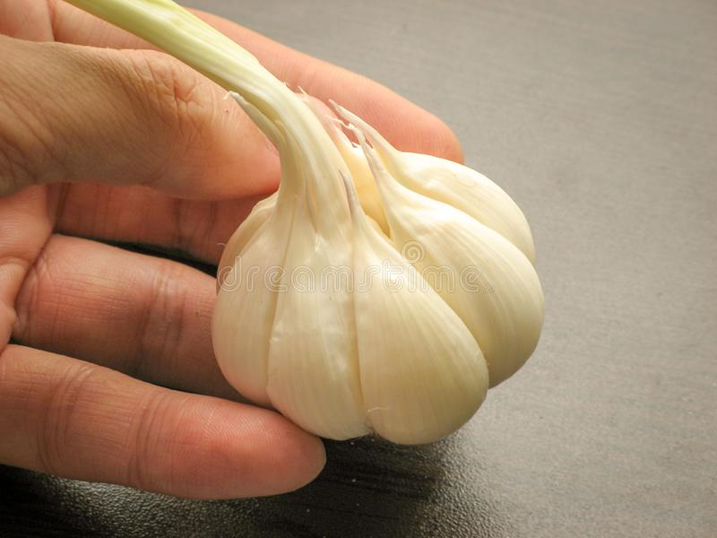 Close up of single fresh garlic bulb  on fingers with wooden background royalty free stock photography