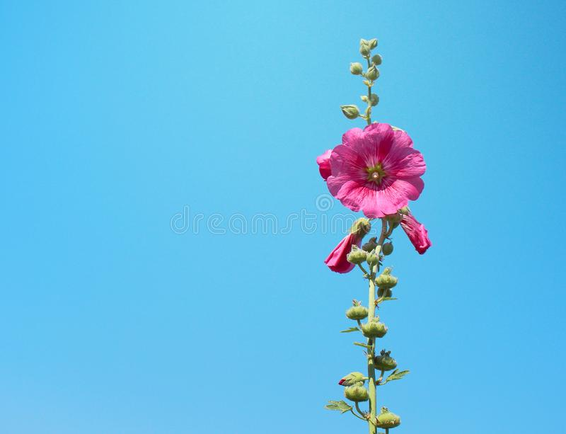 Single inflorescence colorful sweet red or pink hollyhock flowers Alcea rosea natural patterns blooming in garden on bright blue stock photos