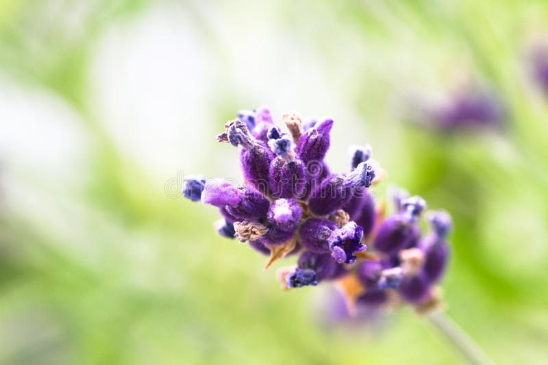 Close up of single isolated purple lavender flower in a out of focus light green background stock photos