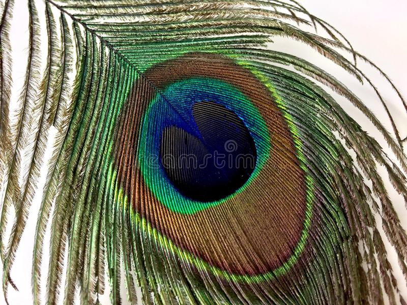 Peacock feather isolated on a white background stock images