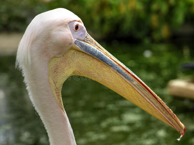 Close Up of Single Pelican Head royalty free stock image