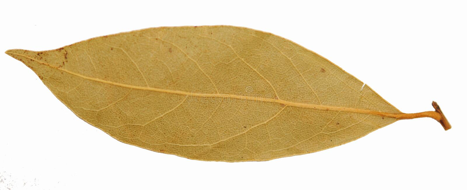 Close Up Of Single Piece Of Bay Leaf Spice Royalty Free Stock Photography