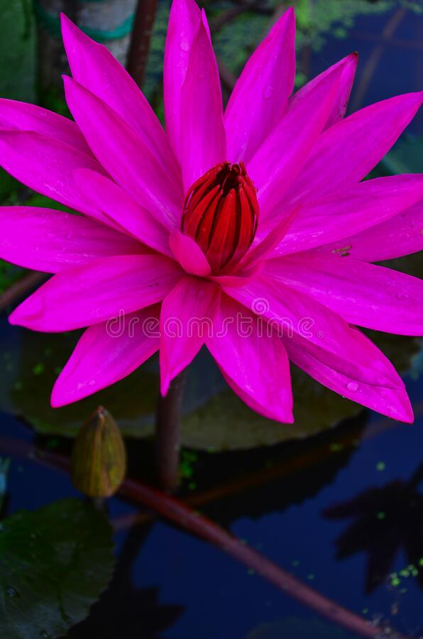 Close up single pink lotus flower in lotus pond. royalty free stock images