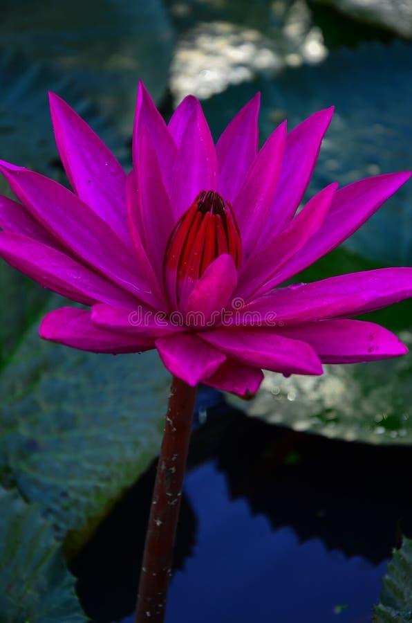 Close up single pink lotus flower in lotus pond. royalty free stock image