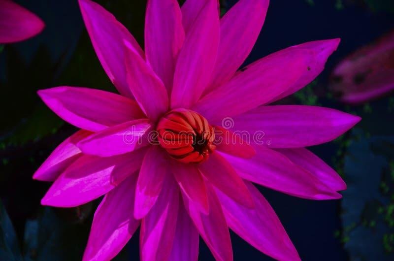Close up single pink lotus flower in lotus pond. royalty free stock photos