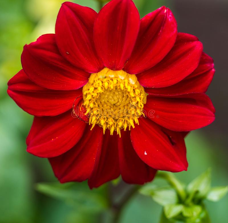 Close up of a single red Dahlia flower in a garden stock images