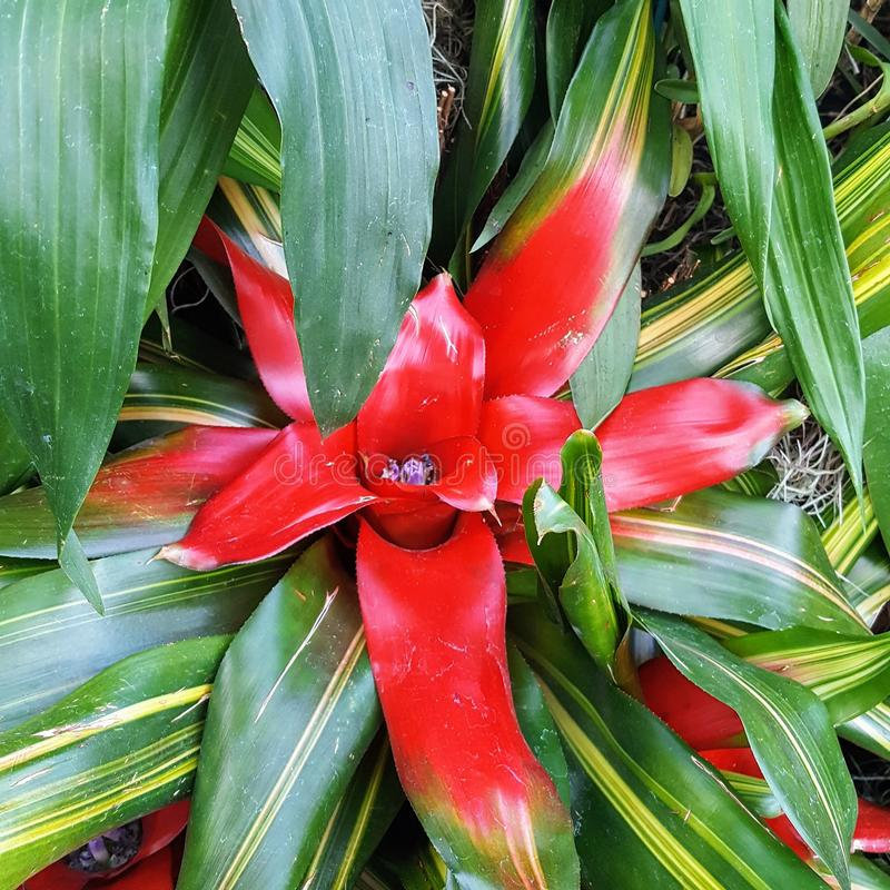Close-up Single Red Pointed Neorogelia. Tropical, flower stock image
