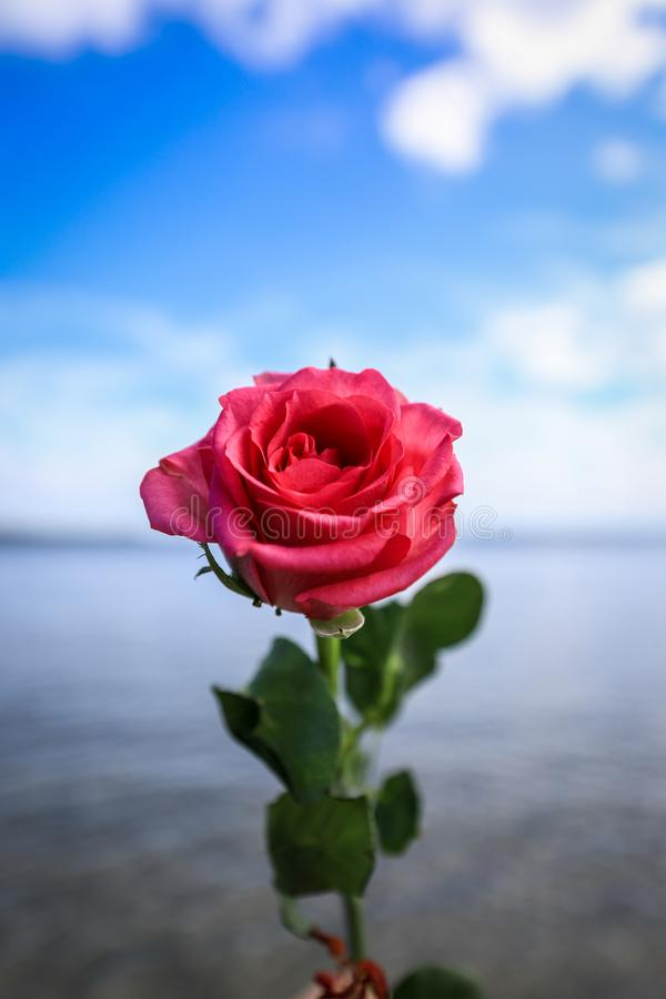 Close up of single red rose against beach and blue sky background stock photography