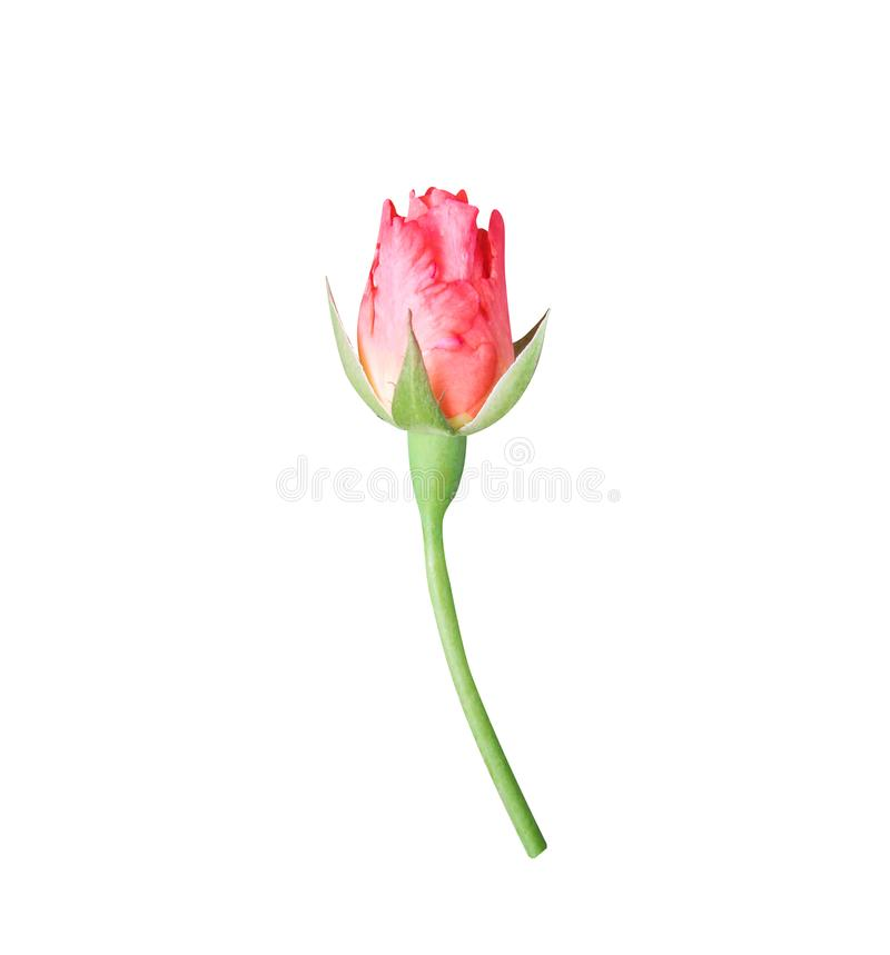 Single red rose bud flower with green stem isolated on white background with clipping path stock photography