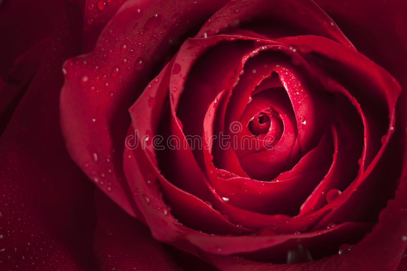 Close up of single red rose royalty free stock photos