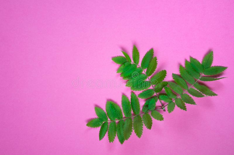 Single rowan tree branch on pink background royalty free stock photography
