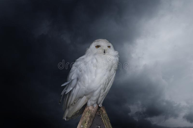 Close up of a single snow owl royalty free stock photo