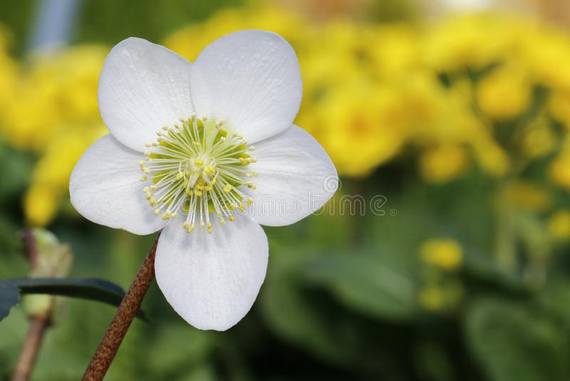 White flower of Helleborus Niger Christmas Rose. Close up of single white flower of Helleborus Niger Christmas Rose stock images