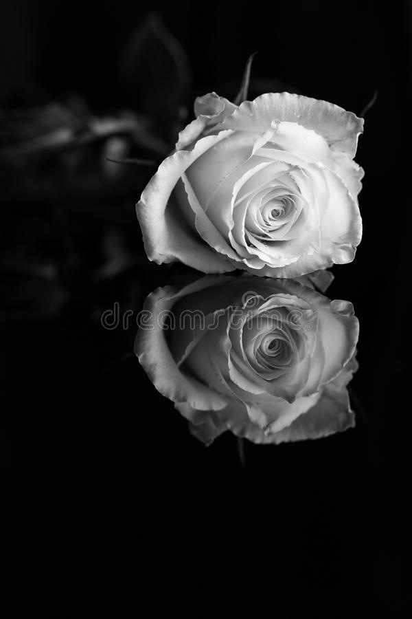 A close-up of a single white rose with reflection. B&W photo royalty free stock images