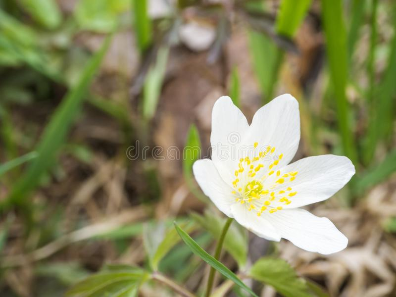 Close up single white wood anemone flower Anemone nemorosa , selective focus, spring floral background stock images