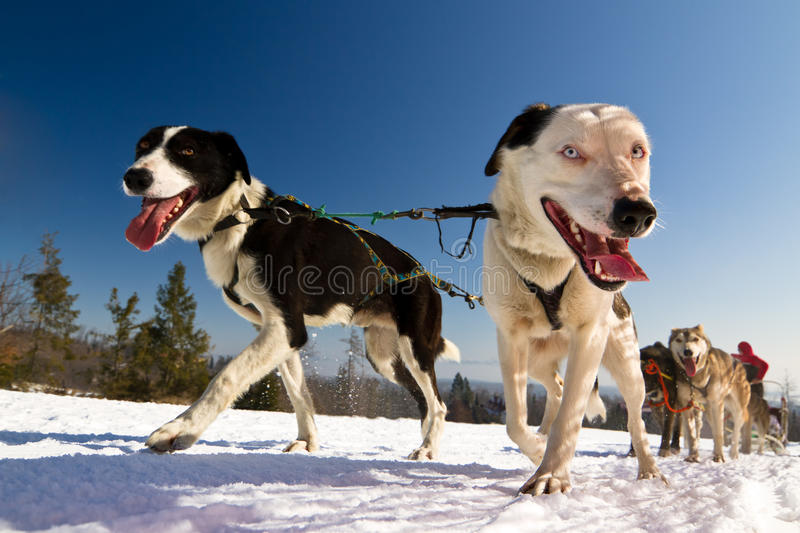 Close up of a sled dog, heading towards the camer royalty free stock photography