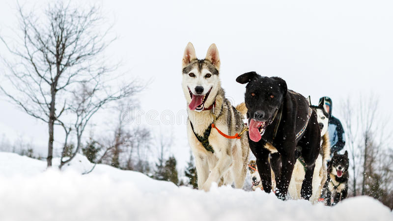 Close up of a sled dog team in action, heading towards the camera royalty free stock images