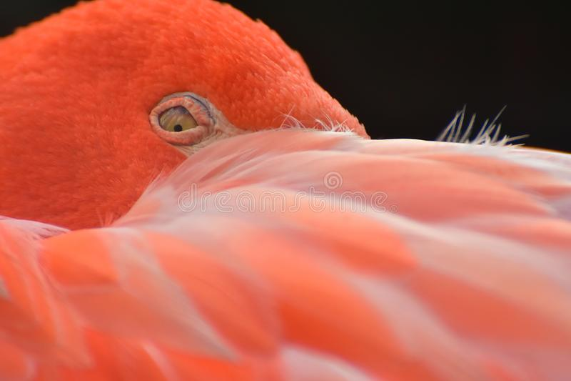 Close up of sleeping, resting flamingo, Phoenicopteriformes stock photography