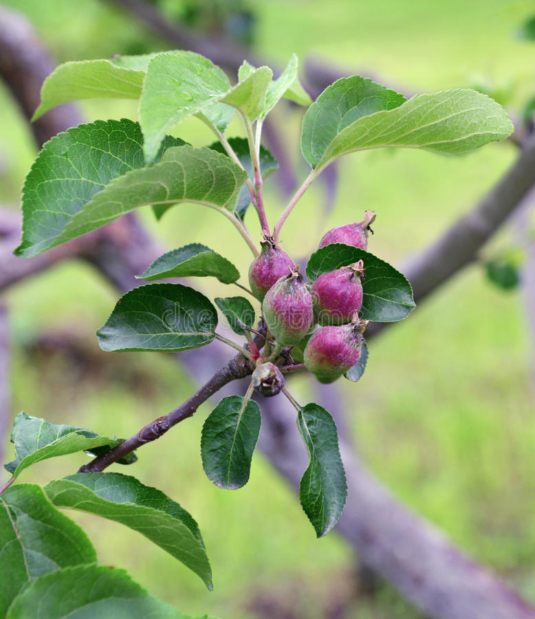 Close up of small apples on tree branch in spring. Close up of small, young apples on tree branch in the garden. Summer or spring background with fruit outdoors royalty free stock image