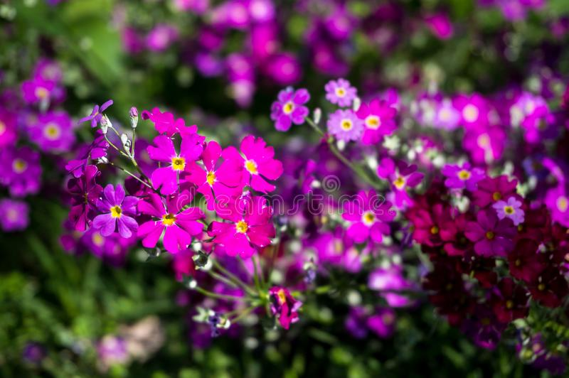 Close up of small bright pink flowers on flower bed stock photos
